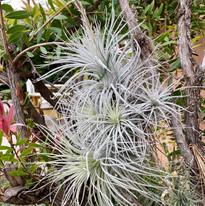 Tectorum Peru Specimen
