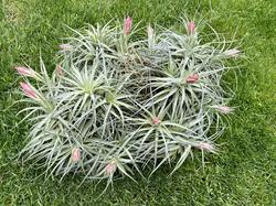 Stricta Stiff Grey Specimen