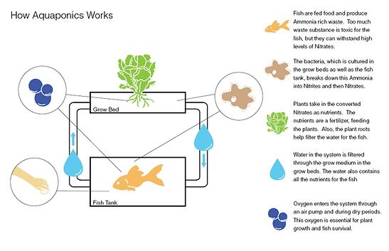 aquaponics canada, aquaponic cycle, tilapia,