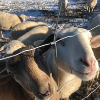 the sheep at Trapp's