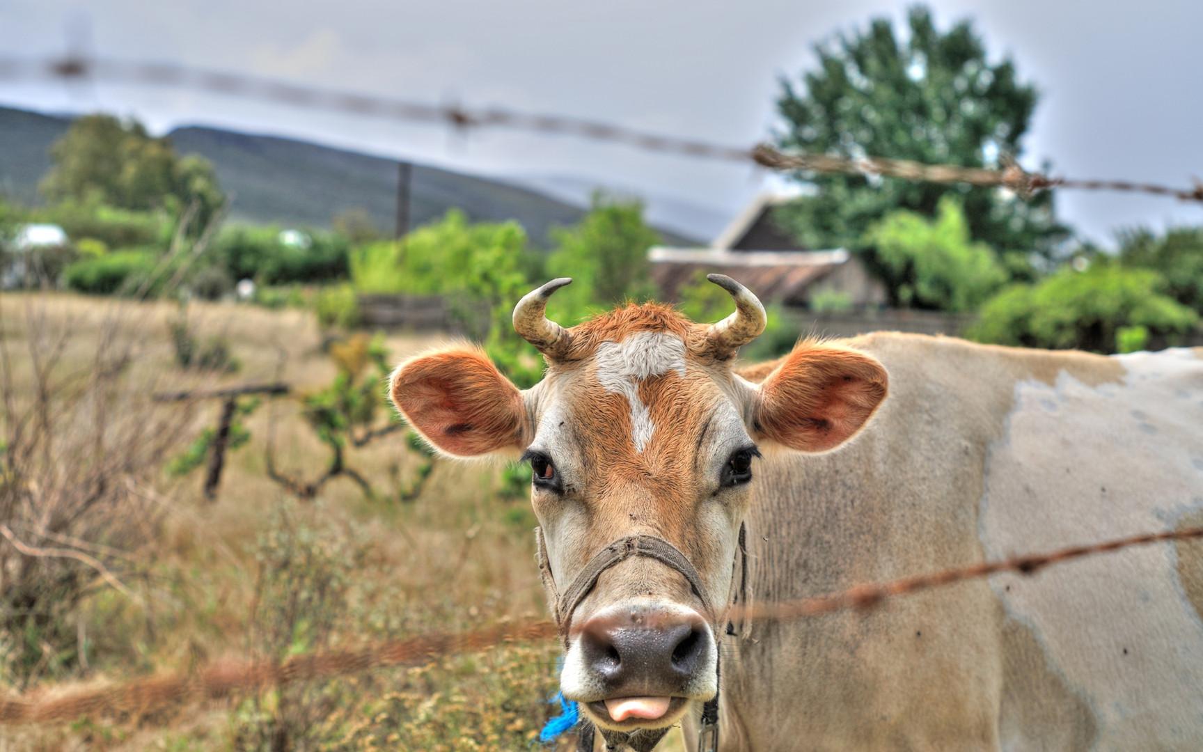 McGregor Country Getaways Cow.jpg
