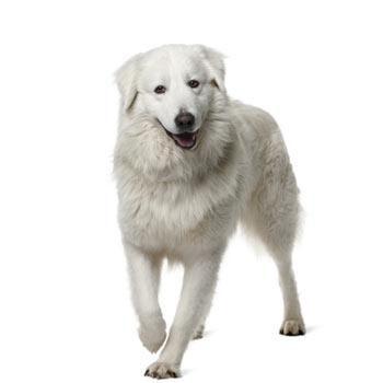 Obří pes zábal, vyčesávání + střih