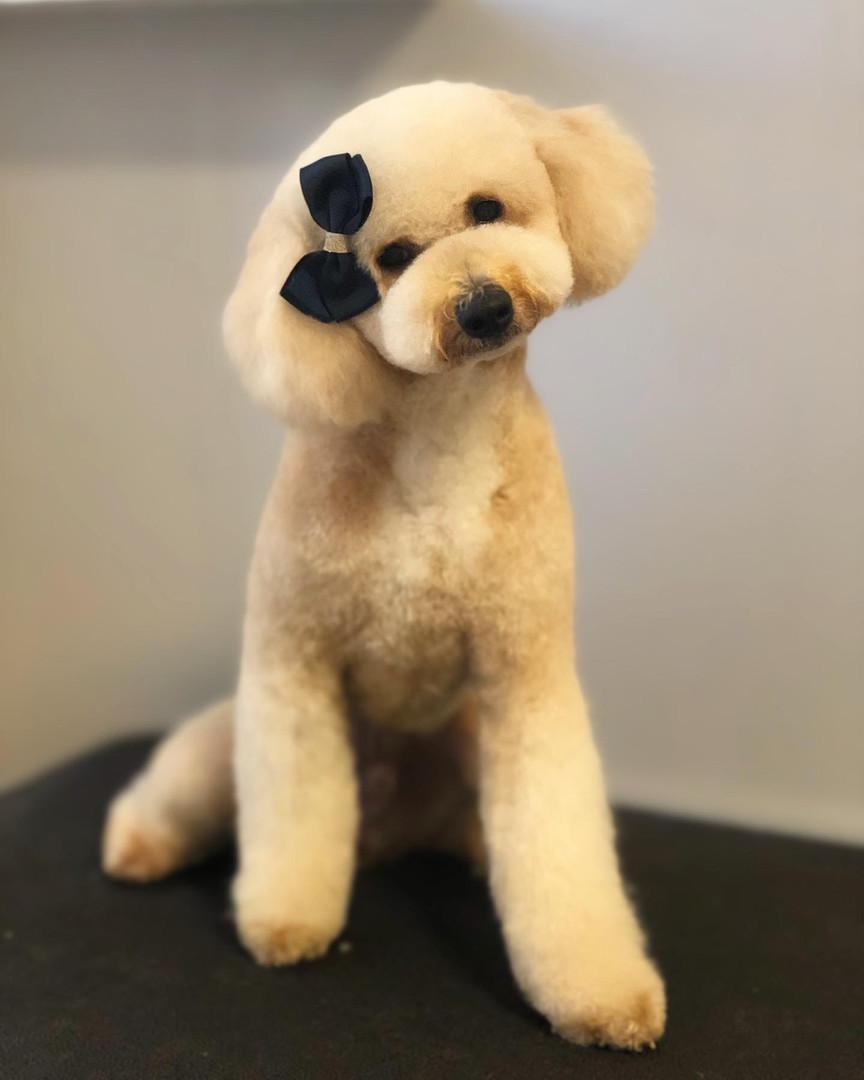 poodle grooming.JPG