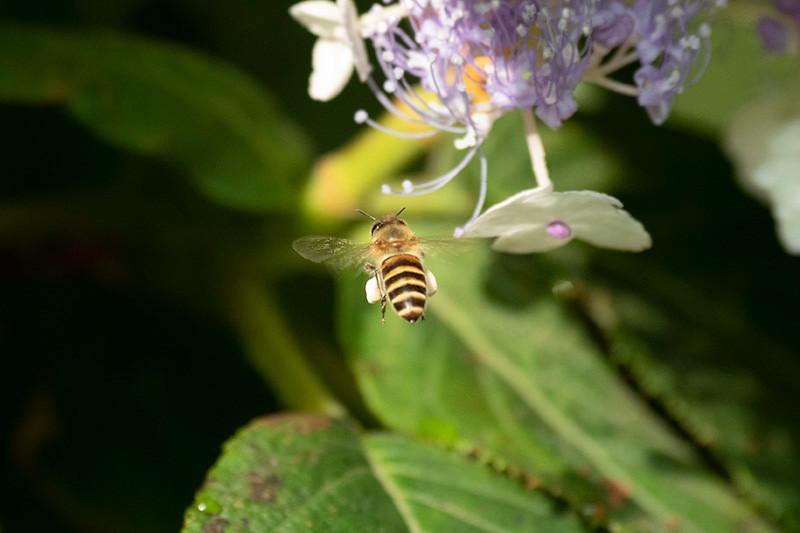西洋ミツバチ