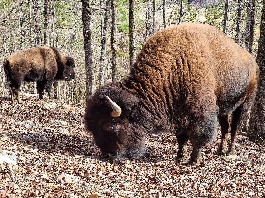 Bisons on their ridge 3.jpg