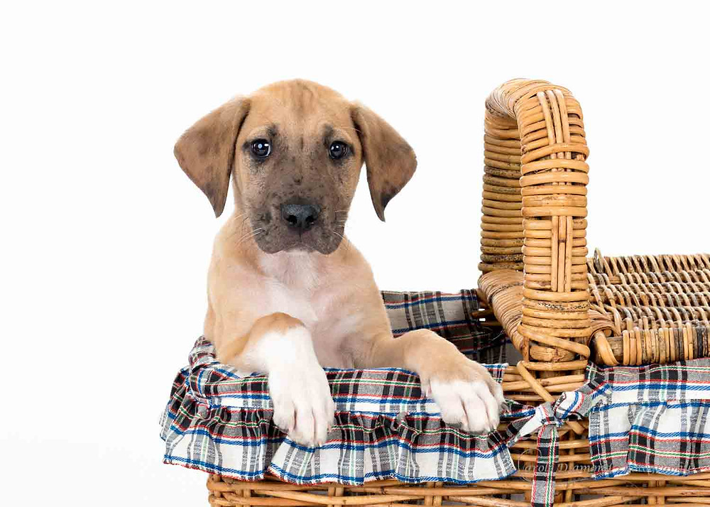 12 week great dane puppy in a basket photo by sydney pet photographer carole diamond
