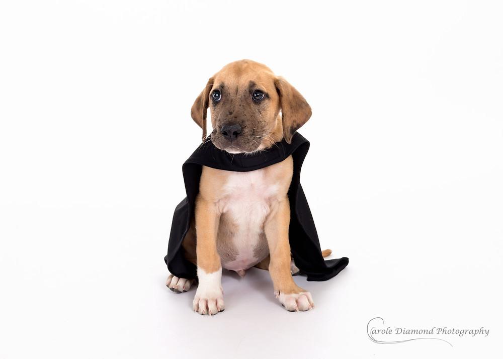 12 week great dane puppy in a batman cape photo by pet photographer carole diamond