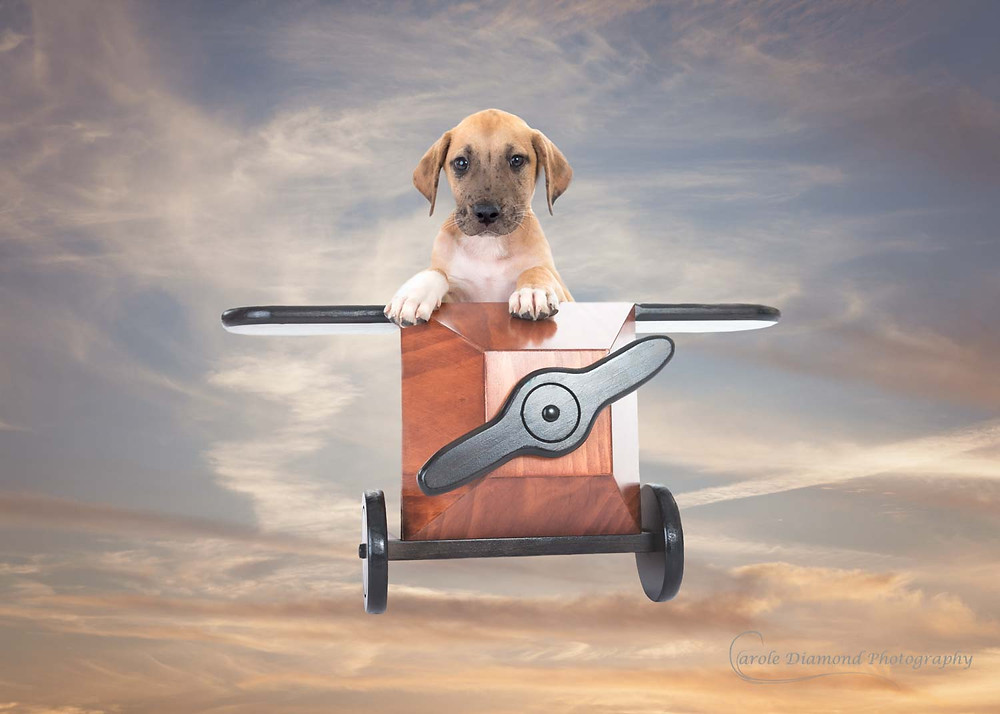 cute puppy in toy plane photo by sydney family photographer carole diamond