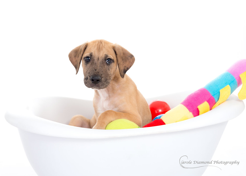 great dane puppy in bathtub with toys pet photography by carole diamond photography