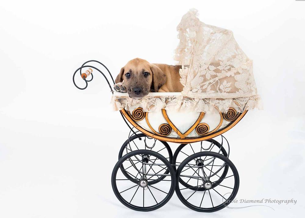 Cute puppy in a pram