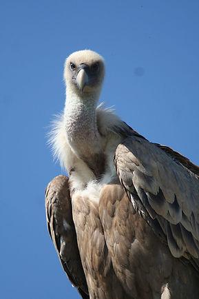 portrait-vautour-fauve-e1529077709944.jp