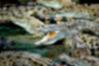 crocodiles-587833_1920.jpg