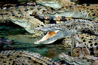 crocodiles-587833_1920.jpg