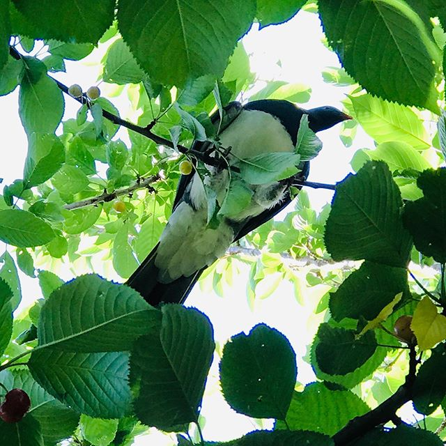 The Kereru have arrived to indulge on th