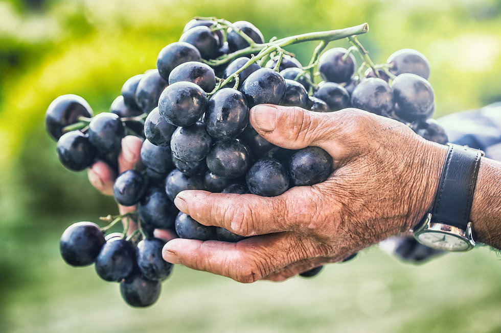 grapes-harvesting-black-or-blue-bunch-gr