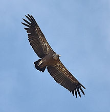 Griffon Vulture taken at Cortijo el Chenil Rural Retreat