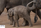Elephant and her family - Melbourne Zoo