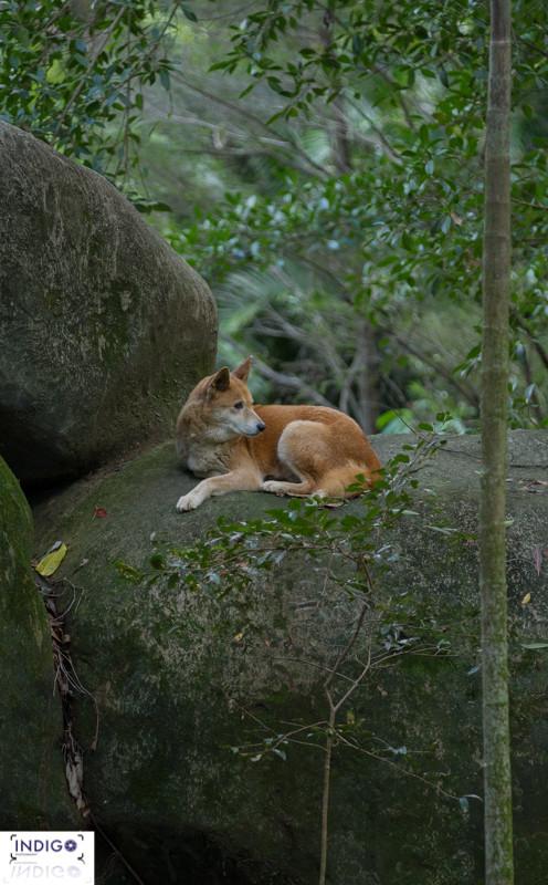 The Beautiful Dingo