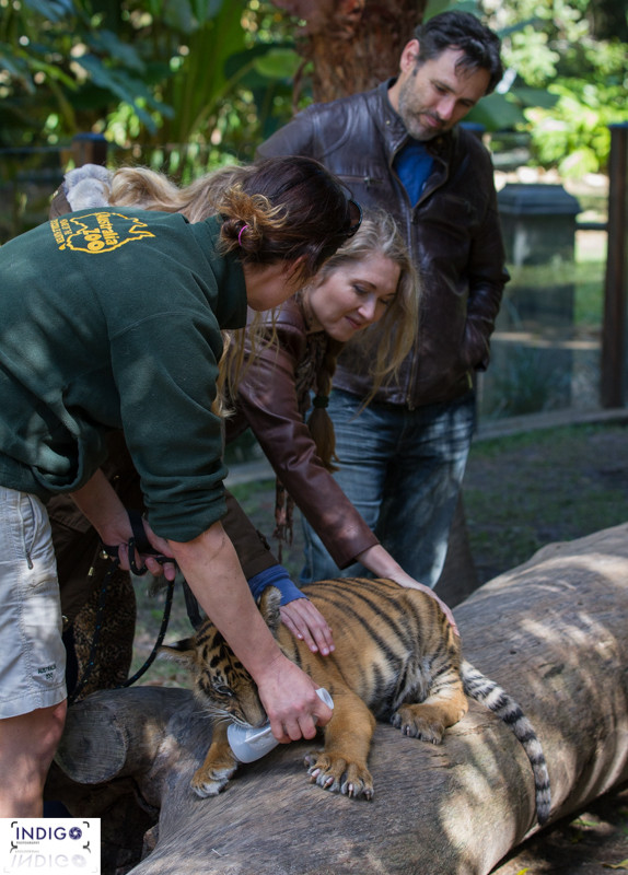 A Hands on Experience at the Tiger Temple