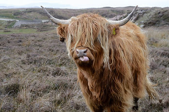 Canva - Brown Highland Cattle on Field o