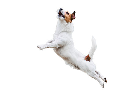 Terrier dog isolated on white jumping an