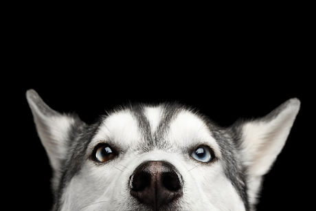 Close-up Head of peeking Siberian Husky