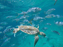 Swim witGlass Bottom Boat Barbados the turtles Tranquility Cruises