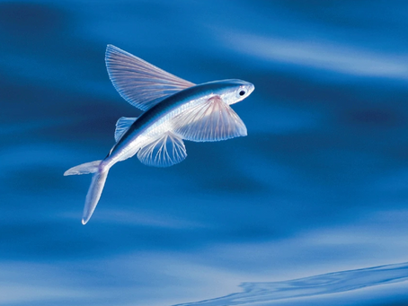 Barbados, the land of the flying fish