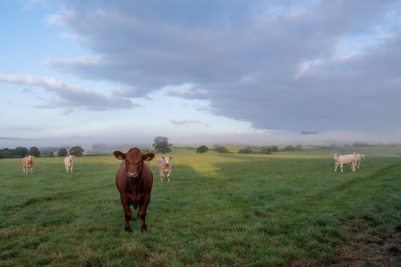 Misty Morning Cattle Field - Photographic Print