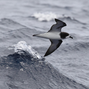 Gould's Petrel - one of our rarest birds
