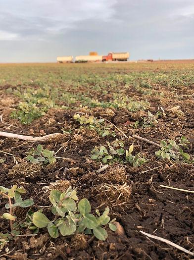 cover crop peas-min.jpg