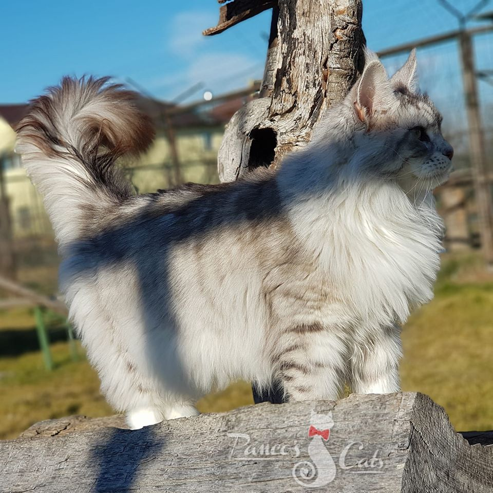 Maine Coon_Million_2