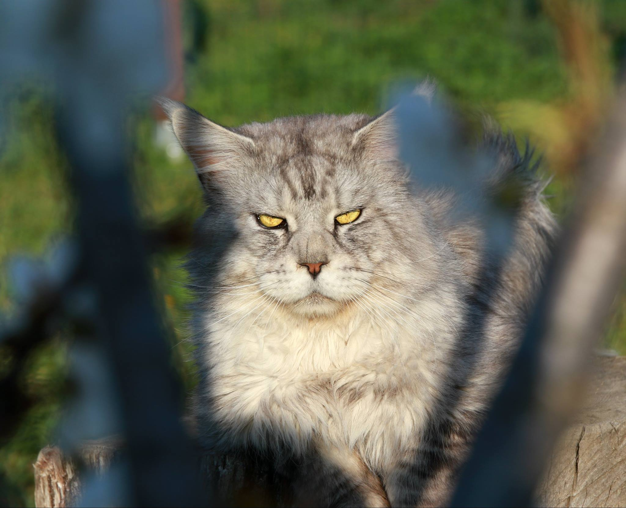 Maine Coon_Chrome