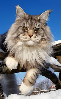 Maine Coon_baiat_Marvel in the Sky 4 gal