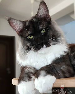 Maine Coon_baiat_Wonder Boy.jpg