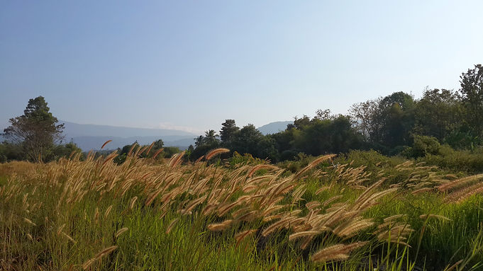 Wild grass flowers in Thailand's Winter with trees and mountains background