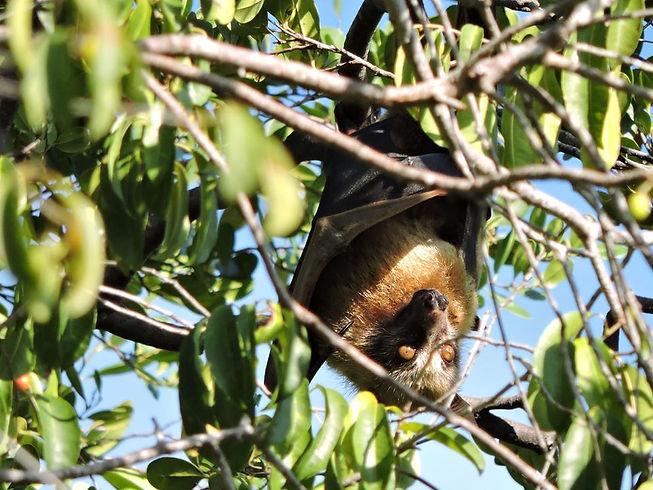 Sulawesi flying fox_Acerodon celebensis.jpg