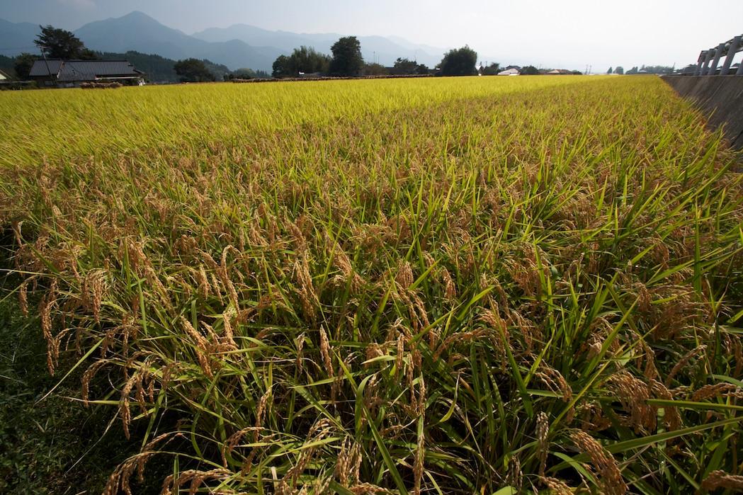 Ohishi Rice Field 2 大石_MG_5686.jpg