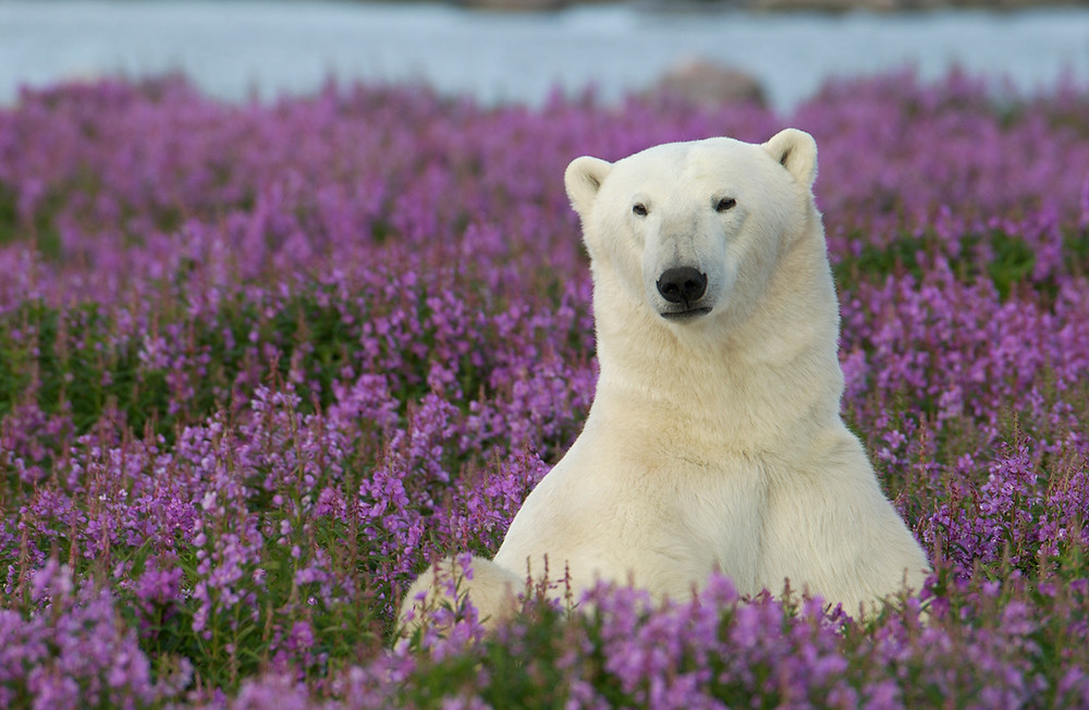 Sommer summer Eisbär Polar Bear Tundra Churchill Hudson Bay Arktis Arctic Subarktis Tierbeobachtung wildlife watching Fireweed Weidenröschen