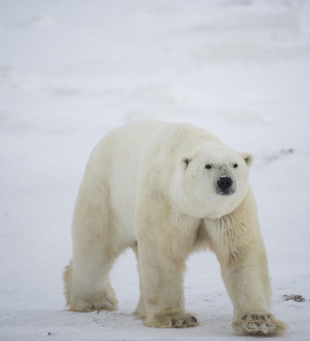 Eisbär in Churchill Manitoba