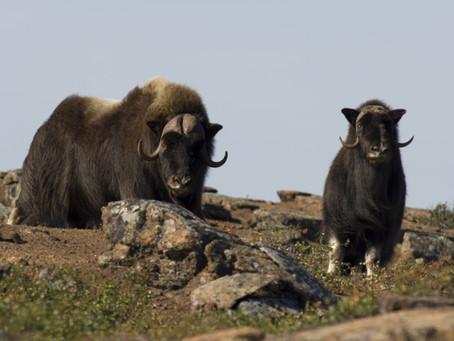 Auf Moschusochsen-Safari im Aulavik National Park