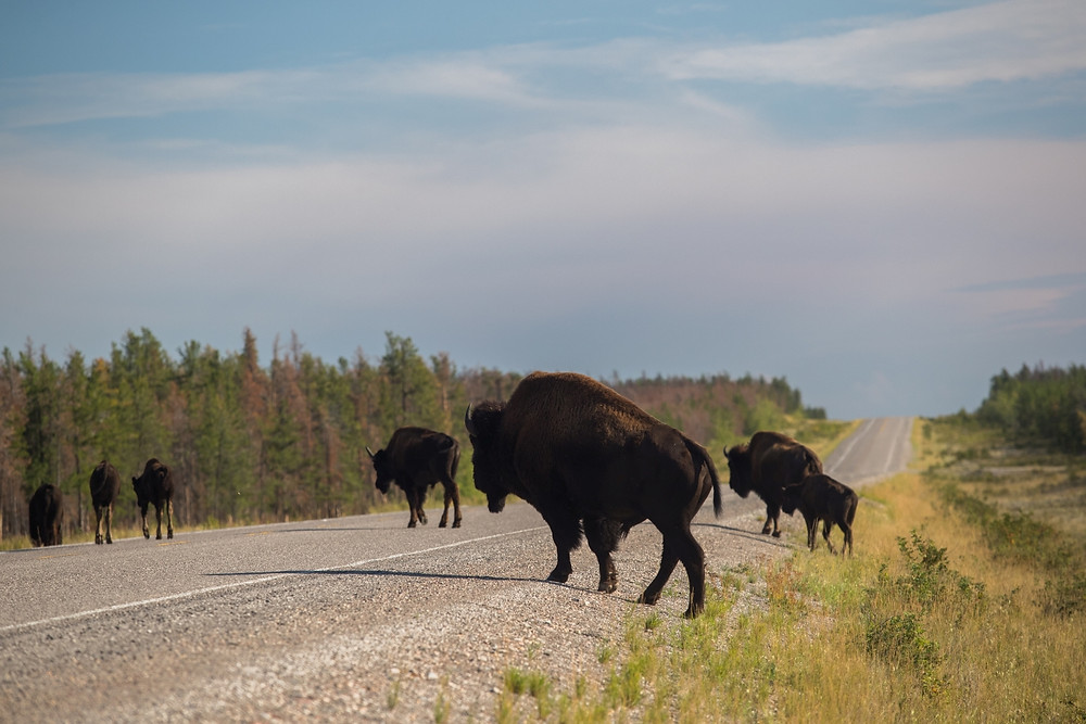 South Slave Region - Bisons Herd - Northwest Territories