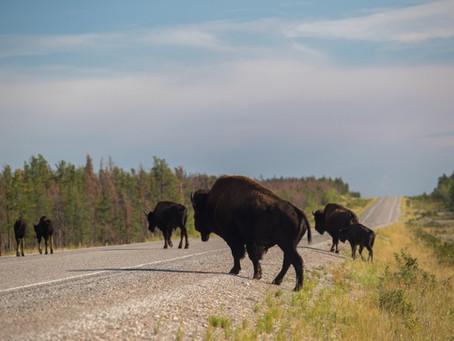 """Stau in der Wildnis: """"Who is who (and where)?"""" in der Tierwelt der Northwest Territories"""