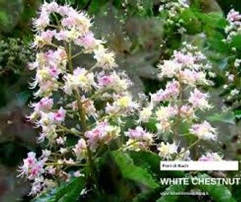 white chestnut.jpeg