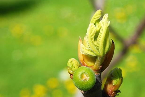 Ficus_bud.JPG
