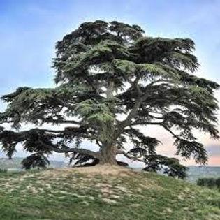 cedro del libano.jpeg
