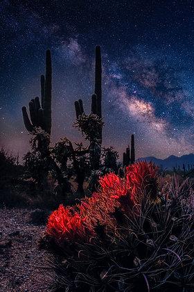 Barrel Cactus Milky