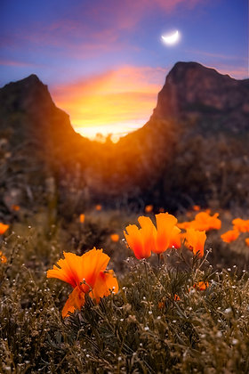 Golden Picacho Poppies