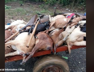 1.7M worth livestock in Cagayan perished due to Typhoon Maring