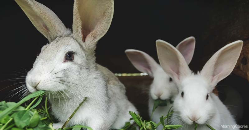 Baguio City can be the future 'Rabbit Capital' of the Philippines